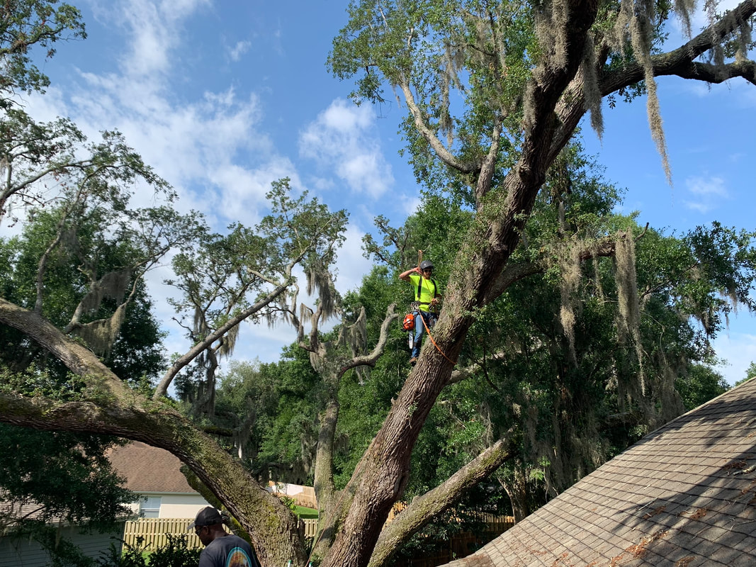 Tree removal Holly Hill